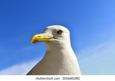 Portrait of a predatory seagull (lat.Larus argentatus). Macro photo of a large seabird. Portrait. Selective focus.