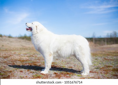Portrait of pregnant maremma sheepdog standing in the summer field on a blue background. Big white fluffy dog is on the moss