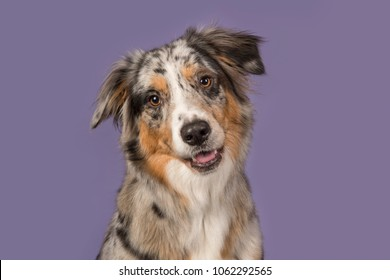 Portrait of a pretty australian shepherd dog on a purple background in a horizontal image