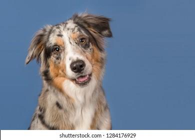Portrait of a pretty australian shepherd dog on a blue background in a horizontal image