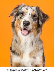 Portrait of a pretty blue merle australian shepherd dog on an orange background