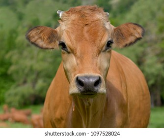 portrait of a pretty brown cow in meadow