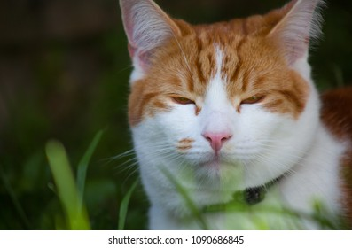portrait of a pretty ginger tomcat in the garden