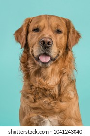 Portrait of a pretty male golden retriever dog looking at the camera on a blue background