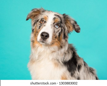 Portrait of a pretty odd eyed australian shepherd dog on a turquoise background in a horizontal image