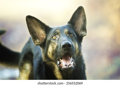portrait of a pretty young and fun german shepherd dog puppy in sunset spring background