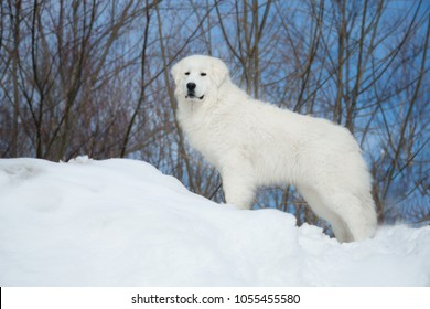 Portrait of prideful maremmano-abruzzesse sheepdog standing on the snow hill, looking to the camera. Profile image of big white italian fluffy maremma dog on the blue sky background in winter forest