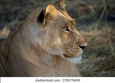 Portrait profile of African lioness