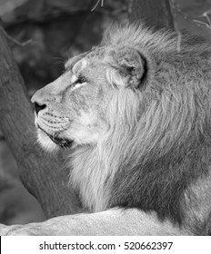 Portrait in profile of Asian lion, calm lying on tree background. The King of beasts, biggest cat of world. Most dangerous and mighty predator of world. Beauty of wildlife. Black and white image.