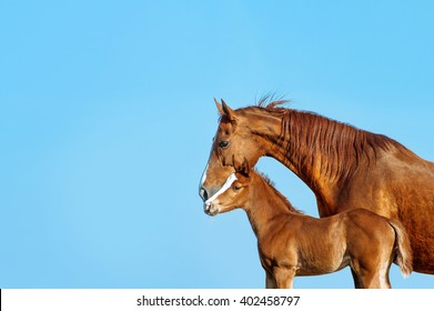 Portrait in profile of a red mare on a blue background. Horse kissing a red foal. The same pair.
