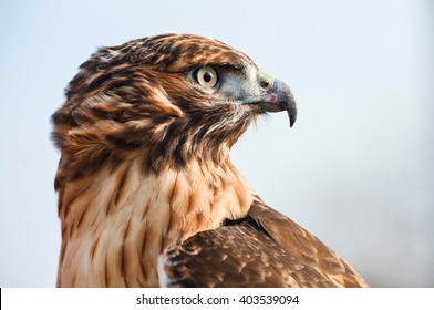 Portrait in profile of a Red Tailed Hawk looking into the distance. Close-up of hawk's head, beautiful feather detail and a powerful, determined gaze