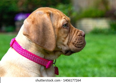 A portrait profile shot of Mabel, an 8 week old Dogue de Bordeaux (French Mastiff) bitch, with the less common fawn isabella colouring, as she takes in her new garden.