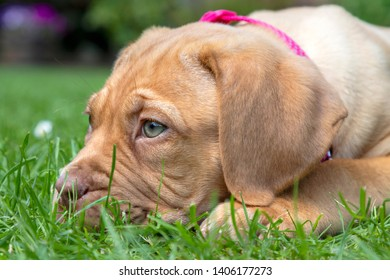 A portrait profile shot of Mabel, an 8 week old Dogue de Bordeaux (French Mastiff) bitch, with the less common fawn isabella colouring, as she lays in the grass of her new garden.