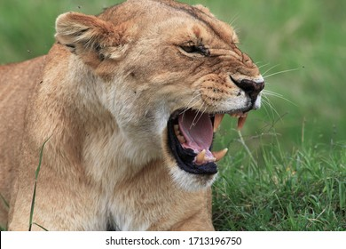 Portrait of a proud lioness defending her cub with a threatening gesture and wide open mouth
