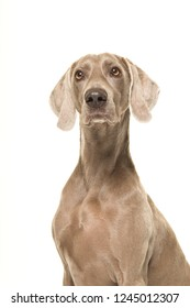 Portrait of a proud weimaraner dog isolated on a white background