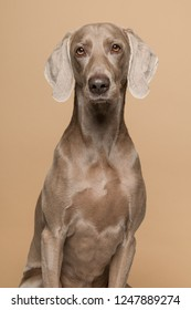 Portrait of a proud weimaraner dog on a sand colored background