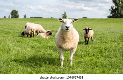 Portrait of a proud white mature sheep posing in front of a group congeners with black heads. It is a sunny day in the summer.