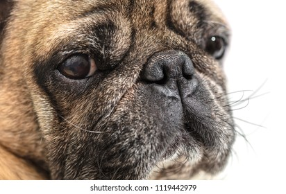 portrait of a pug close-up on white background