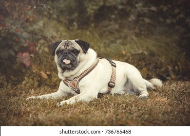 Portrait of a Pug dog outdoors in autumnal landscape