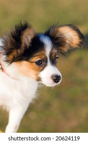 Portrait of the puppy of breed papillon.