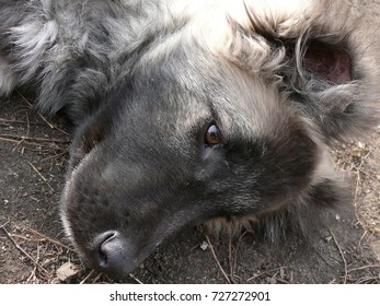 The portrait of puppy of Caucasian dogs. Dog sitting photo