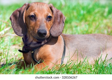 Portrait of a puppy of a dog of the dachshund
