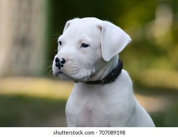 Portrait of a puppy Dogo Argentino on green background