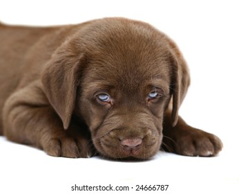 Portrait of puppy on a white background.