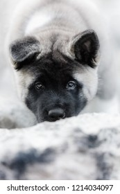 portrait puppy purebred black american akita