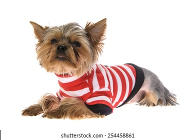 Portrait Puppy Yorkshire Terrier. Isolated on White Background