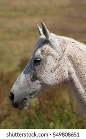 Portrait of pure arab mare in the field.