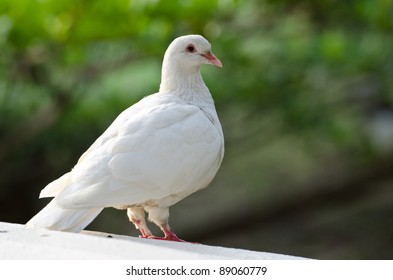 portrait of a pure white pigeon with bokeh background