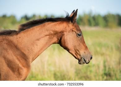 portrait of purebred akhal-teke foal on field