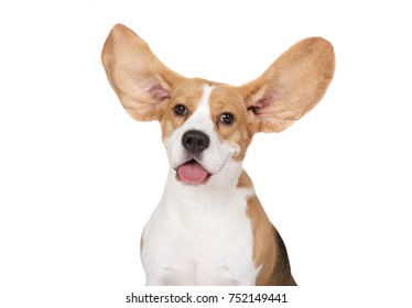 Portrait of purebred Beagle dog with scattering ears isolated on a white background