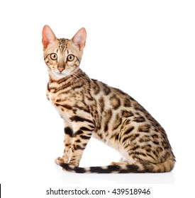 Portrait of a purebred bengal cat. isolated on white background