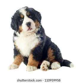 portrait of a purebred bernese mountain dog in front of white background