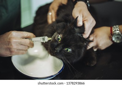 Portrait of purebred black Chantilly Tiffany cat in veterinary ambulance with vet. Dark tomcat with injury on head and eye getting a vaccine at the veterinary clinic. Owner and Vet holding scared cat.