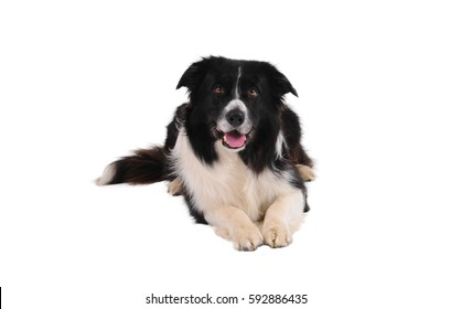 Portrait of purebred border collie isolated on white background.