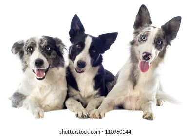 portrait of purebred border collies in front of white background