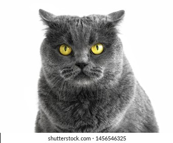 Portrait of purebred British cat with yellow eyes looks like an owl or eagle-owl. The cat looks at camera and looks aggressive.