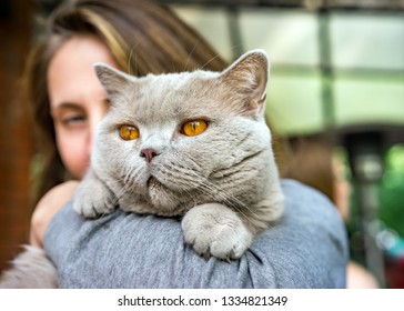 Portrait of purebred British grey cat and a beautiful young girl holding him in her arms closeup