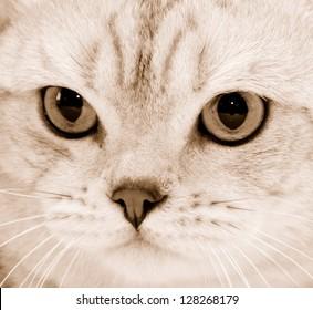 Portrait of purebred cat close-up . Sepia