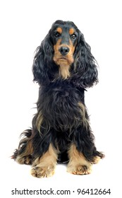 portrait of a  purebred english cocker black and tan in a studio