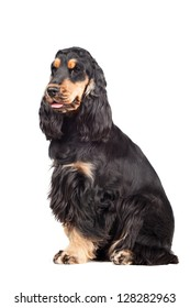 Portrait of a purebred english cocker spaniel isolated of a white background