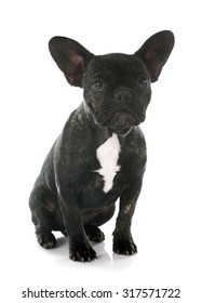 portrait of a purebred french bulldog in front of white background