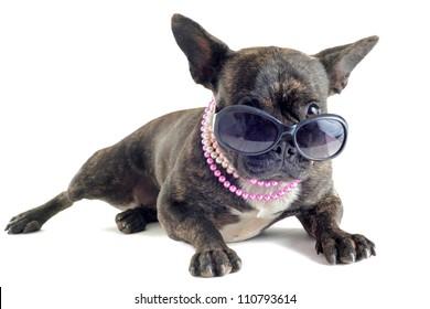 portrait of a purebred french bulldog  with sunglasses in studio