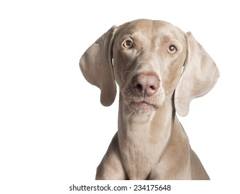 A portrait of a purebred hunting female Weimaraner, also known as gray ghost looking at the camera, isolated over white background