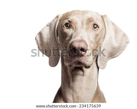 A portrait of a purebred hunting female Weimaraner, also known as gray or silver ghost, looking at the camera, isolated over white background