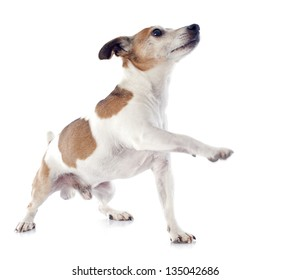 portrait of a purebred jack russel terrier in studio