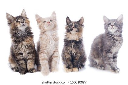 portrait of a purebred  maine coon kitten on a white background